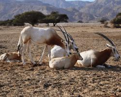 Priamorožec arabský, Oryx leucoryx