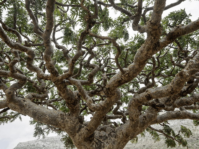 Kadidlové stromy Boswellia
