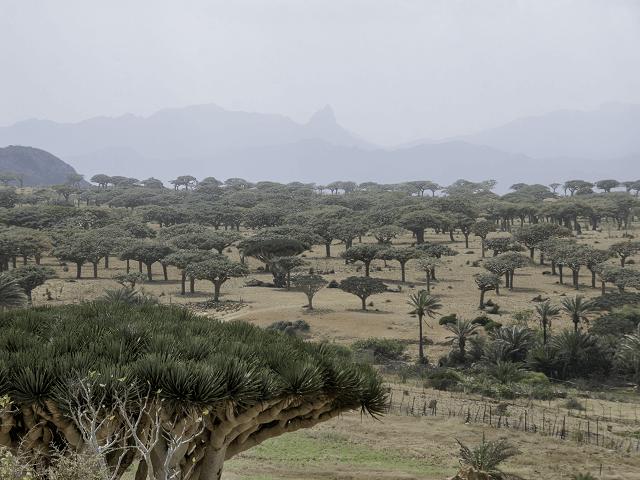 Kadidlovníky na púšti