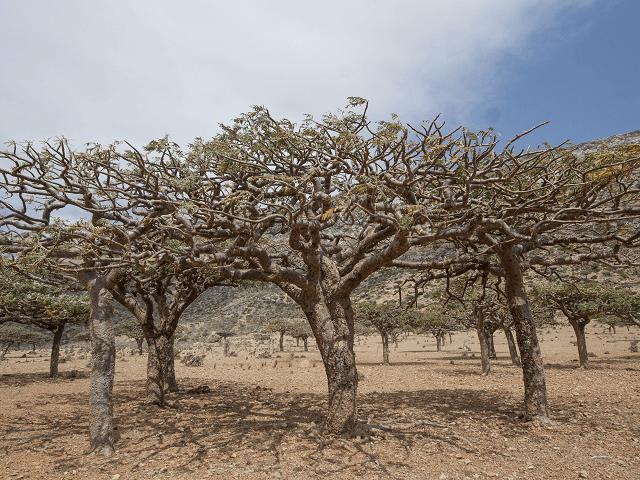 Kadidlové stromy, Boswellia sacra